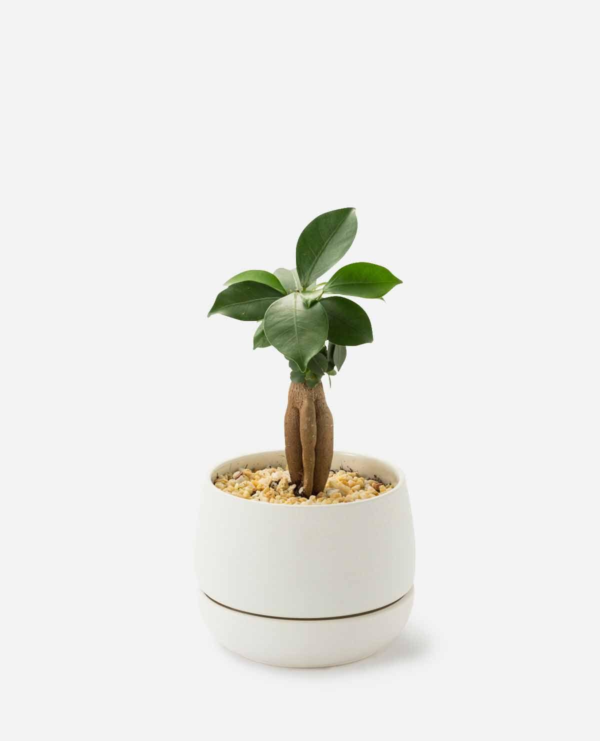ガジュマルの植え込み 鉢アイボリー