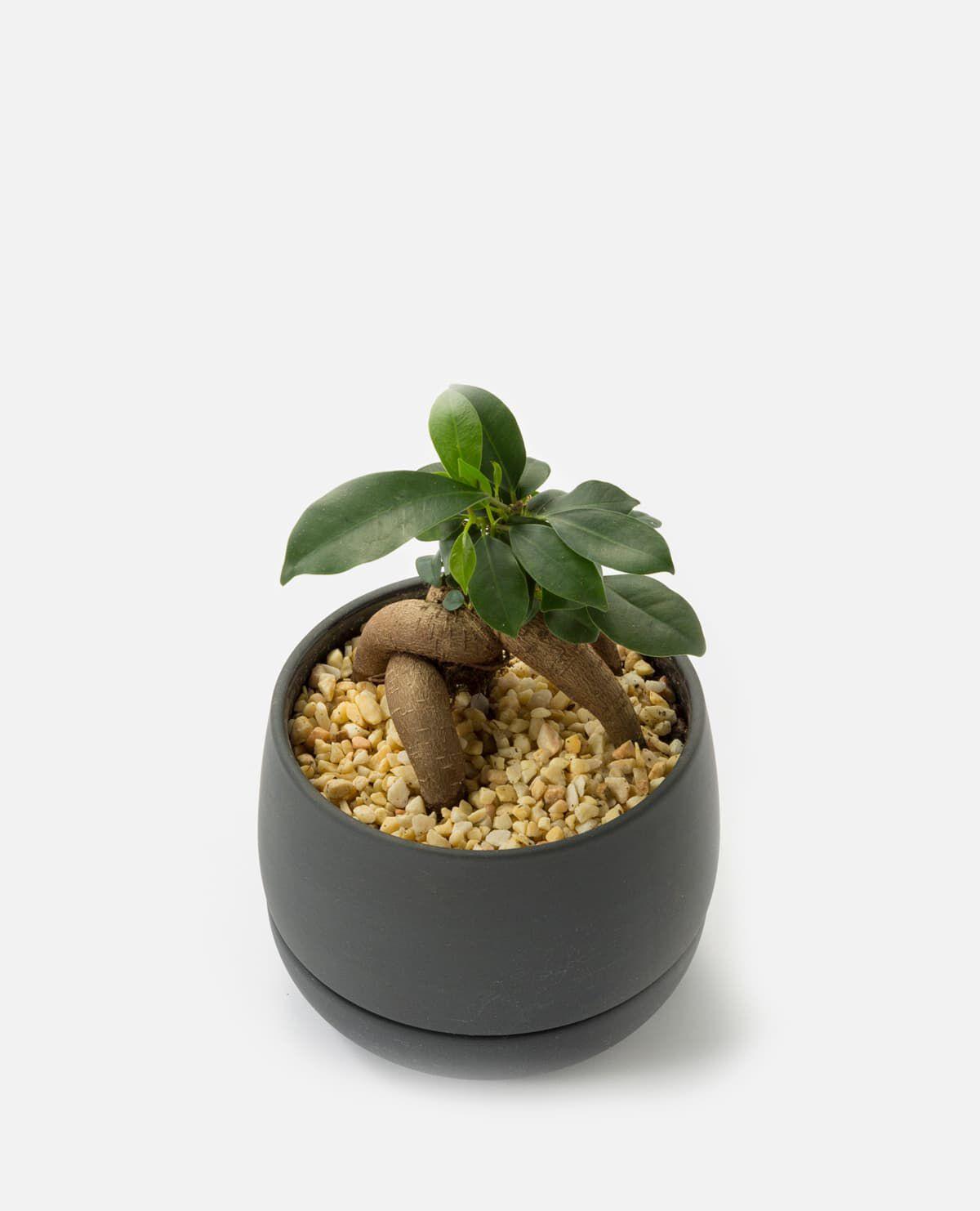 ガジュマルの植え込み 鉢グレー
